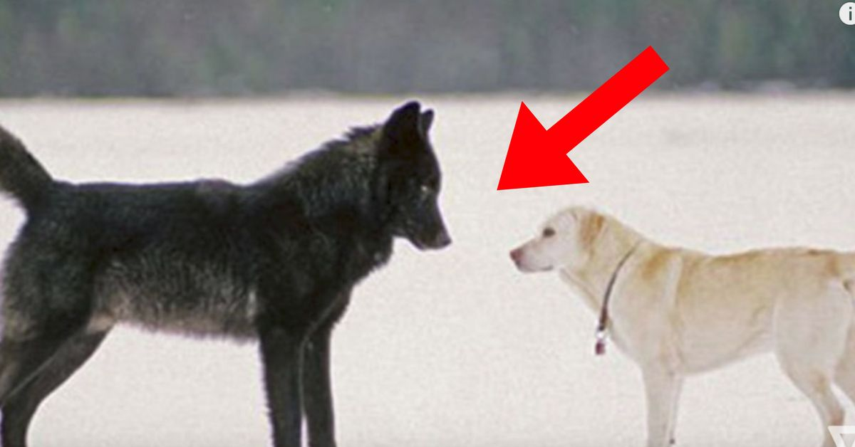 This is what happens when a pet dog makes friends with a wild wolf