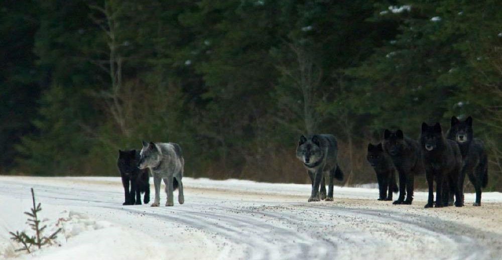 They Released 14 Wolves In A Park. But No One Was Prepared For This. Unbelievable That Nature.. - %