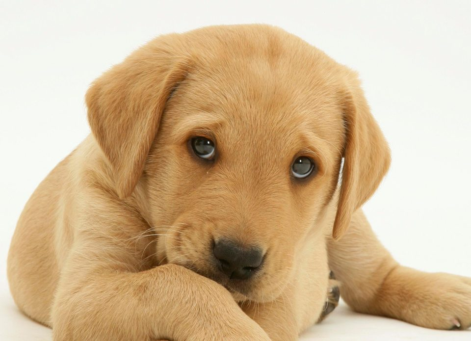 Lab Report Proves That Dogs Do Give Puppy Eyes To Get What They