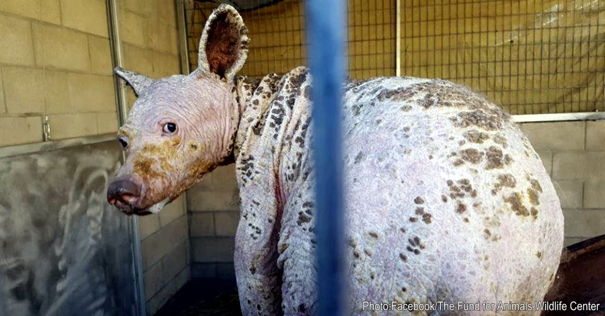 Hairless Bear With Severe Mange Found in California Digging Through Trash