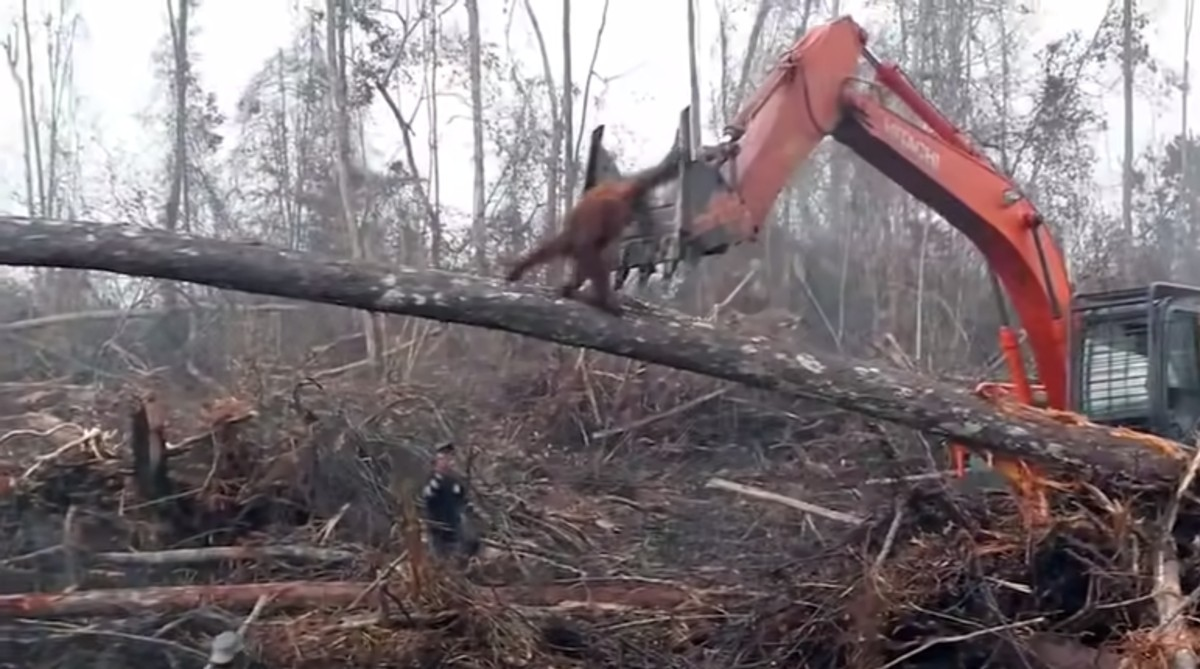 Heartbreaking Footage of Endangered Orangutan Trying to Fight off Excavator as His Home is Destroyed