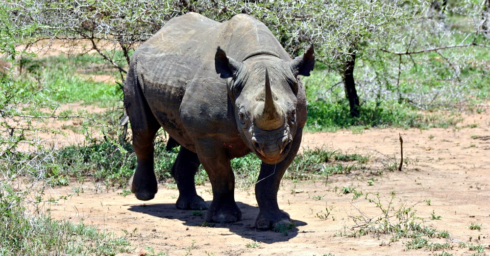 US allows hunter to bring in endangered black rhino carcass