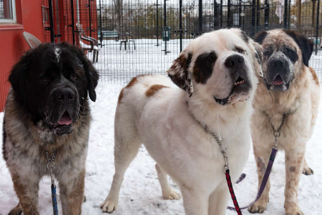 Giant Fluffy Dogs