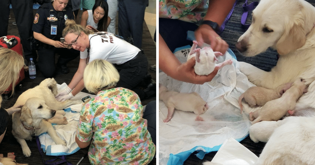 Service Dog Gave Birth To Eight Puppies While Waiting For A Flight At An Airport