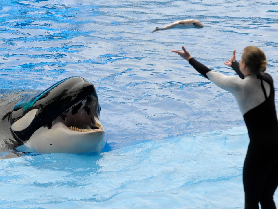 Orcas have a reputation for violence because of incidents at places like SeaWorld in which the animals have killed their trainers. However, orcas that have not been captured have never been known to kill a human.