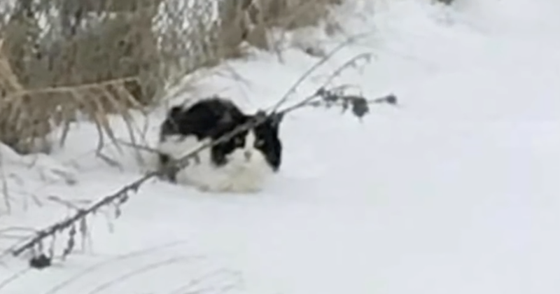 "Women sees cat struggling to survive in snow, then goes to rescue and cat has sweetest ""thank you"""
