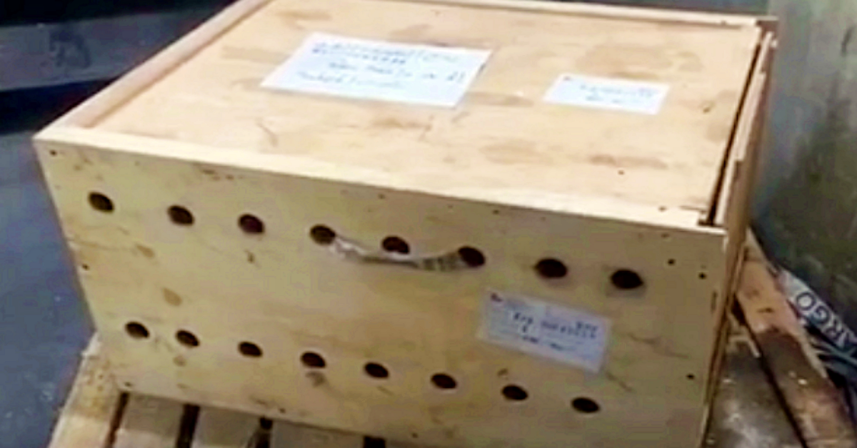 Three Tiger cubs trapped in box for a week at the airport