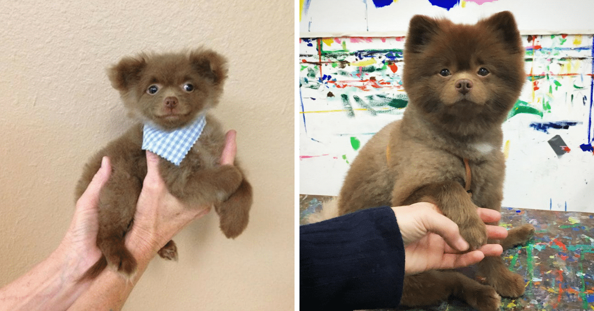 Breeder abandons baby Pomeranian who's 'too big to sell'