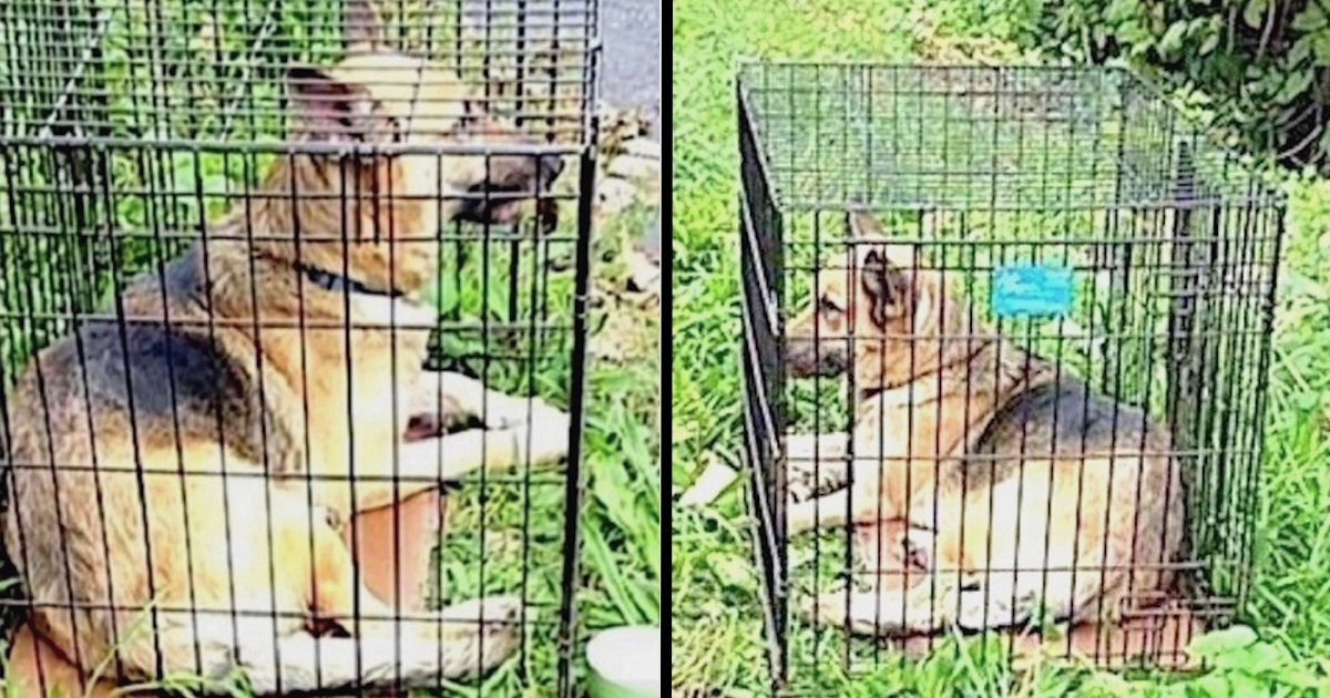 German Shepherd Found Dumped in a Metal Cage in the Hot Sun with No Food or Water