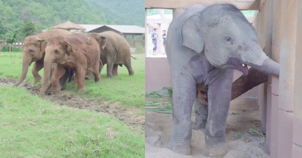 Orphaned elephant is completely alone – 5 million hearts were melted as new herd comes to adopt him