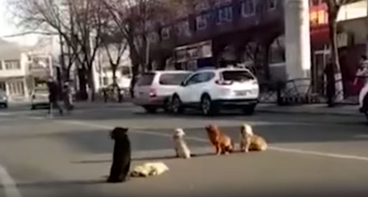 Four Dogs Block Traffic Because One Of Their Friends Is Down And Unable To Move