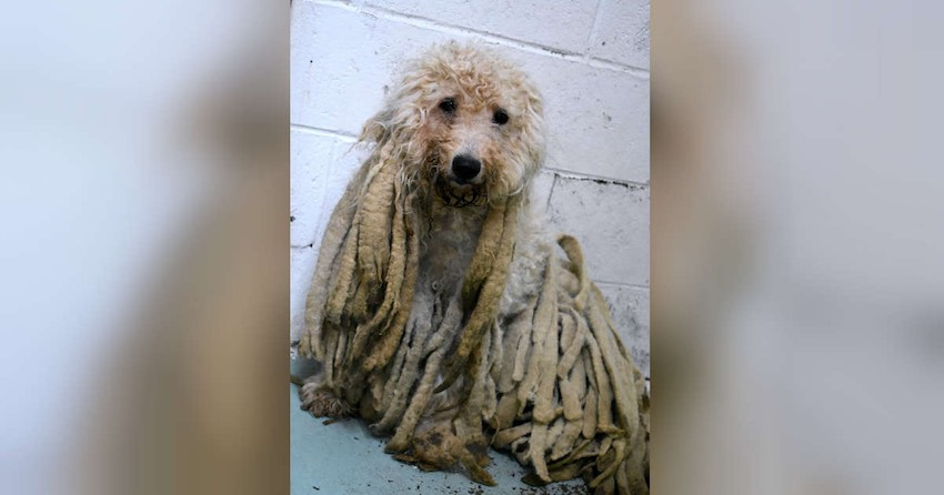 Poodle Covered in Filthy Dreadlocks Freed From Pounds of Hair