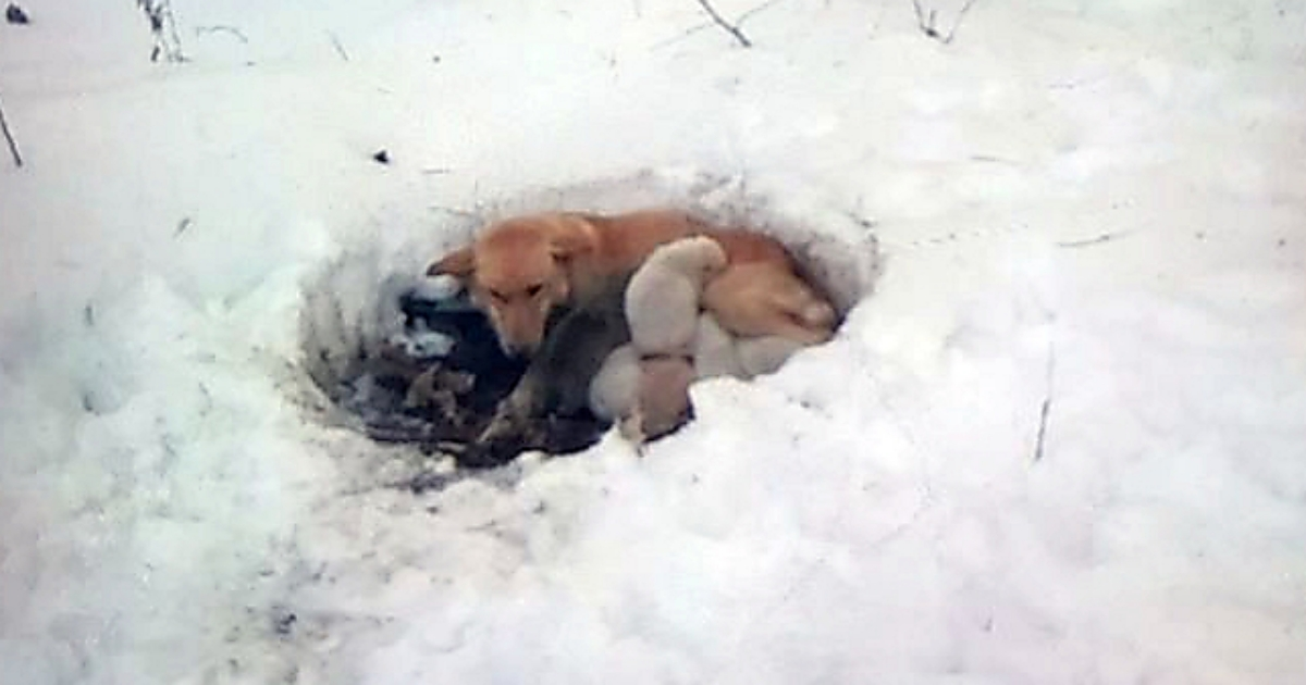 Stray Mama Dog Found Lying in Foot of Snow, Protecting Her Puppies from the Cold