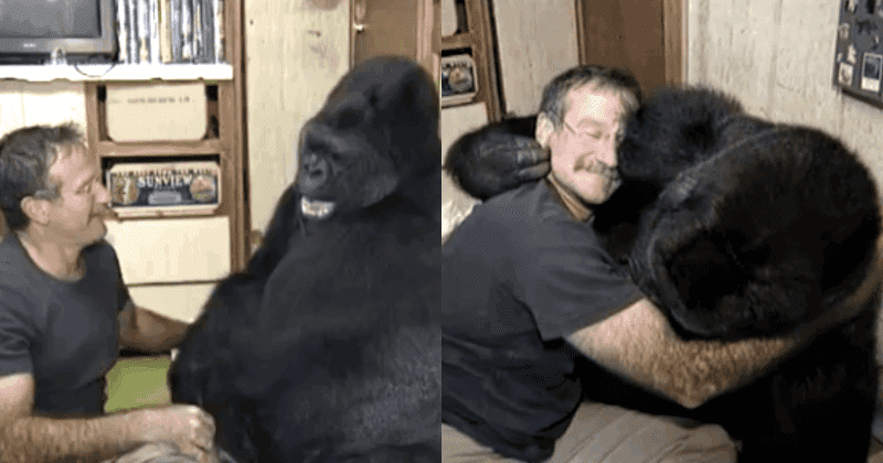 Great Robin Williams Made Koko the Gorilla Laugh for the First Time in 6 Months after the Death of Her Childhood Playmate