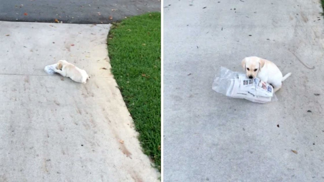 Tiny Labrador Does Her Best to Carry a Newspaper That's Twice Her Size