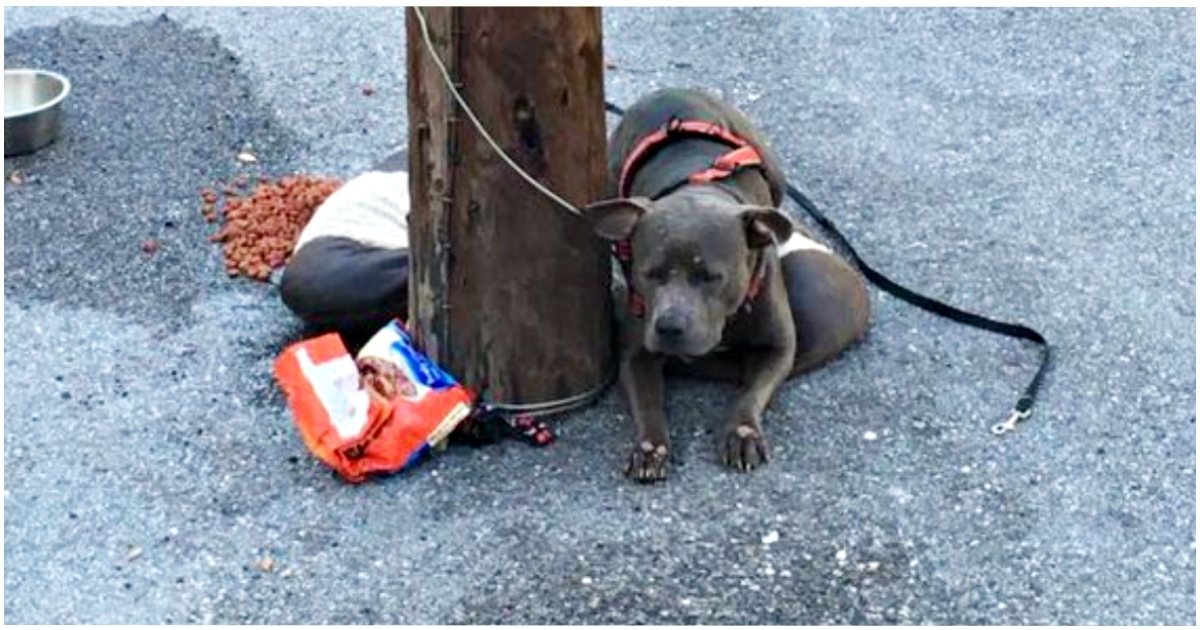 Ashamed Pit Bull Left Tied to Pole at Cat Shelter Couldn't Look at People