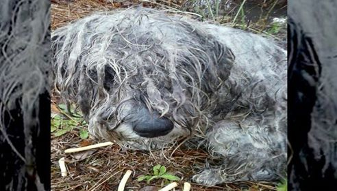 Starved and Abused Schnauzer Was Found Tied to a Tree on Secluded Country Land